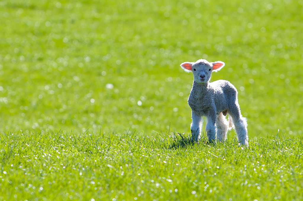 Spring lamb in a field by Tim Pokorny on Flickr